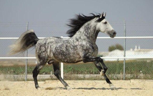 cheval espagnol robe