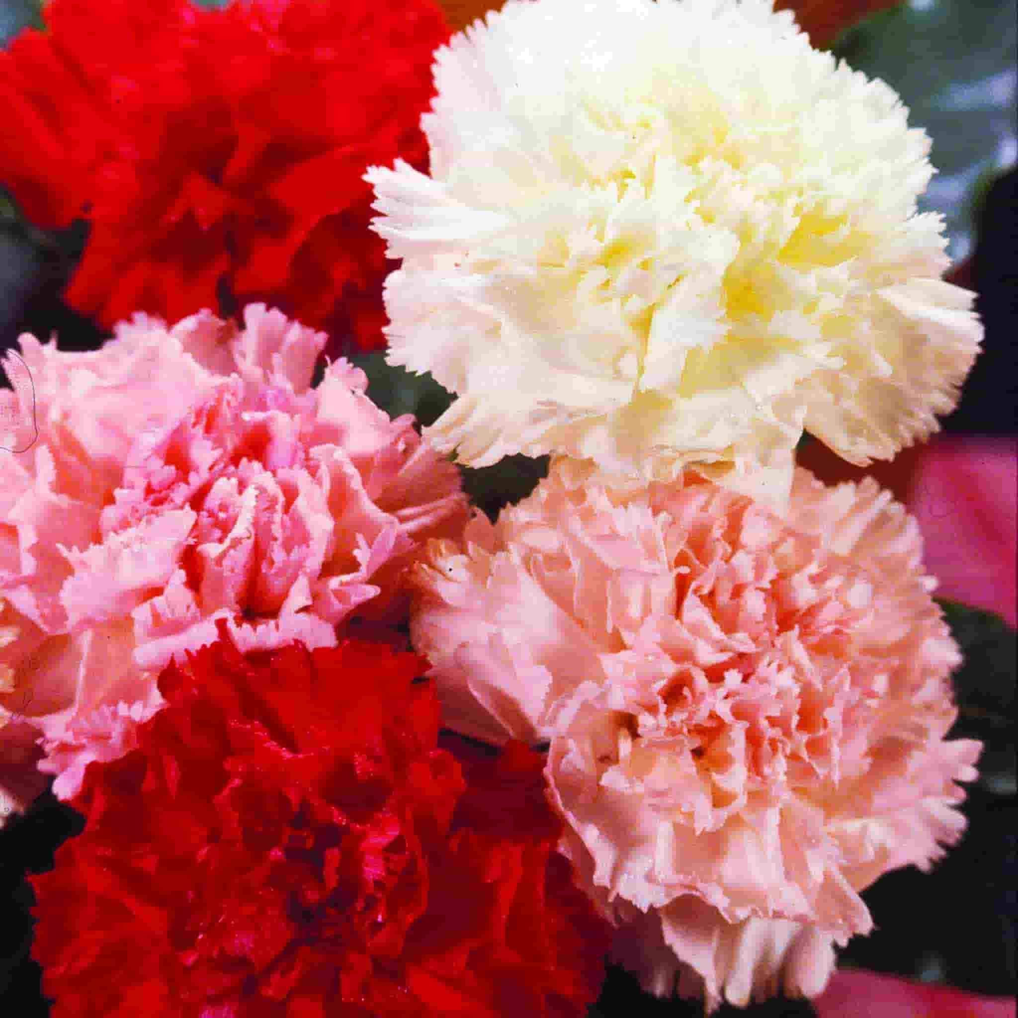 Carnation Seeds Chabaud Giant Mixed Colors Carnation Flower Flower Seeds Carnations