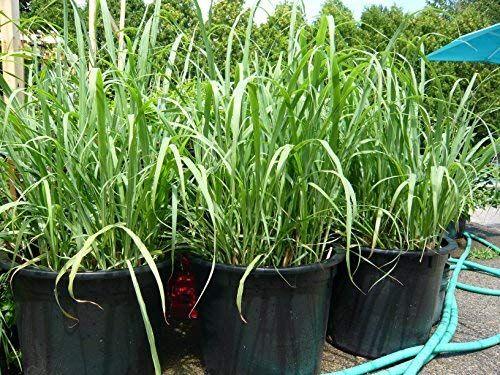 Lemon Grass Plant Care How To Grow Lemon Grass Lemon Grass Shade Grass Plants