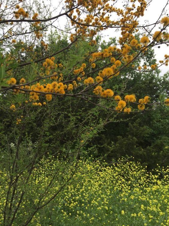 Acacia Farnesiana Syn Vachellia Farnesiana Sweet Acacia Landscape Trees Flowering Trees Small Trees
