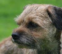 Border Terrier Eccles In Corrie Lol Border Terrier Coronation Street Dogs