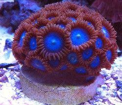 Zoanthids Live Corals Aquacon Com Saltwater Aquarium Fish Saltwater Fish Tanks Coral Reef Aquarium