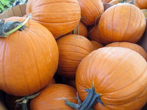 Jack O Lantern Pumpkin Species