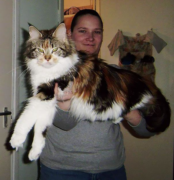 猫は断然 大きい方がいい という人のための大型猫 メインクーンの写真30枚 小太郎ぶろぐ メインクーン 猫 猫 メインクーン