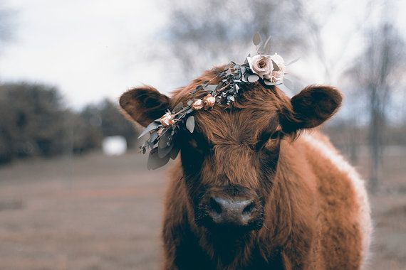 Victor Ludorum Cow In Floral Headcrown Fluffy Cows Cute Baby Cow Cow Wallpaper