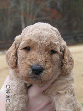 Goldendoodles Puppies Puppies Dogs And Puppies Dogs