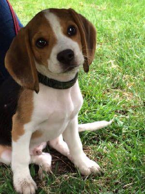 Pin By Lori Eldridge Wells On Bens Stuff Beagle Dogs Animals