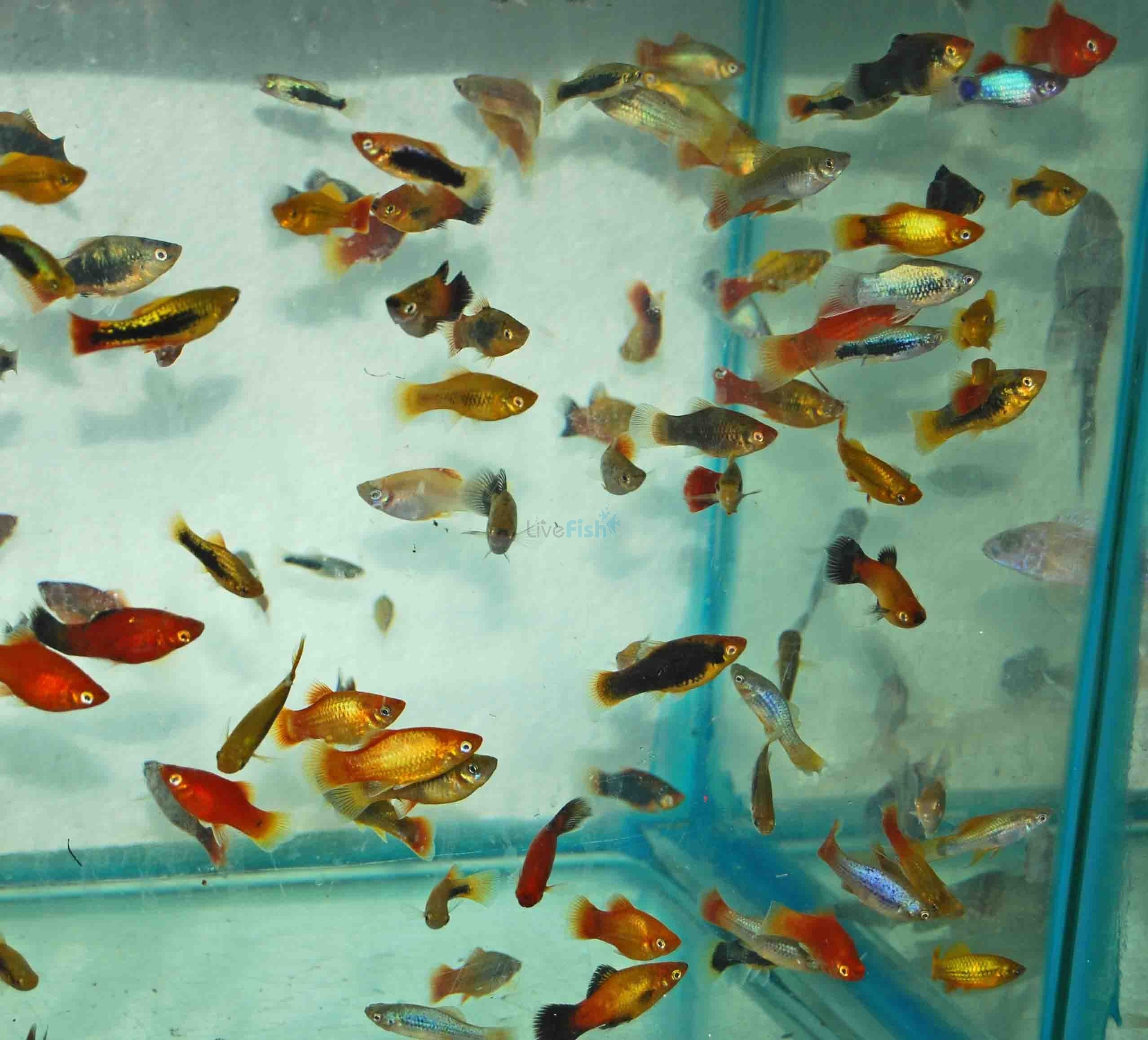 Platy assorted temperate coldwater temperate aquariums for Live feeder fish