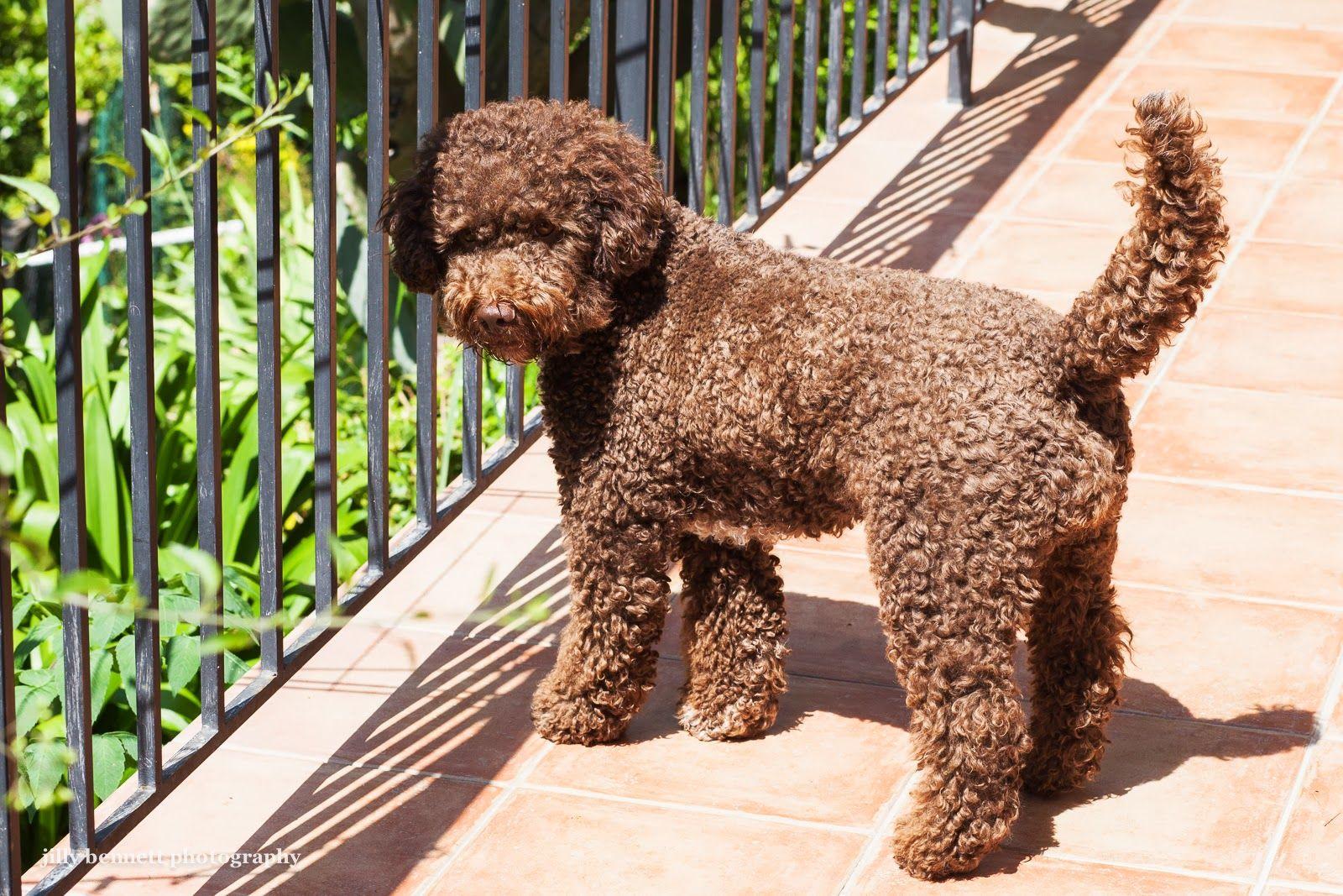 Lagotto romagnolo on riviera dogs pretty dogs