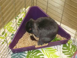 tips on litter-training your pet rabbit and lists of safe and