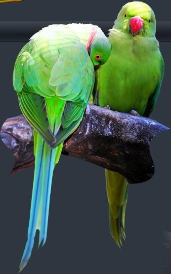 Asian ringnecked parakeets, videoporno dejenirrivera