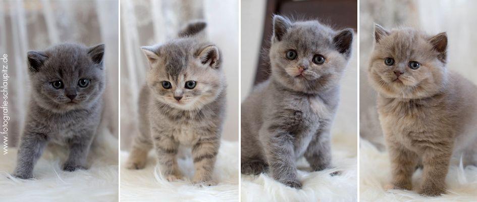 Katzenbabys Bkh Suchen Liebevolles Zuhause Katzen Katzenbabys Und Bkh