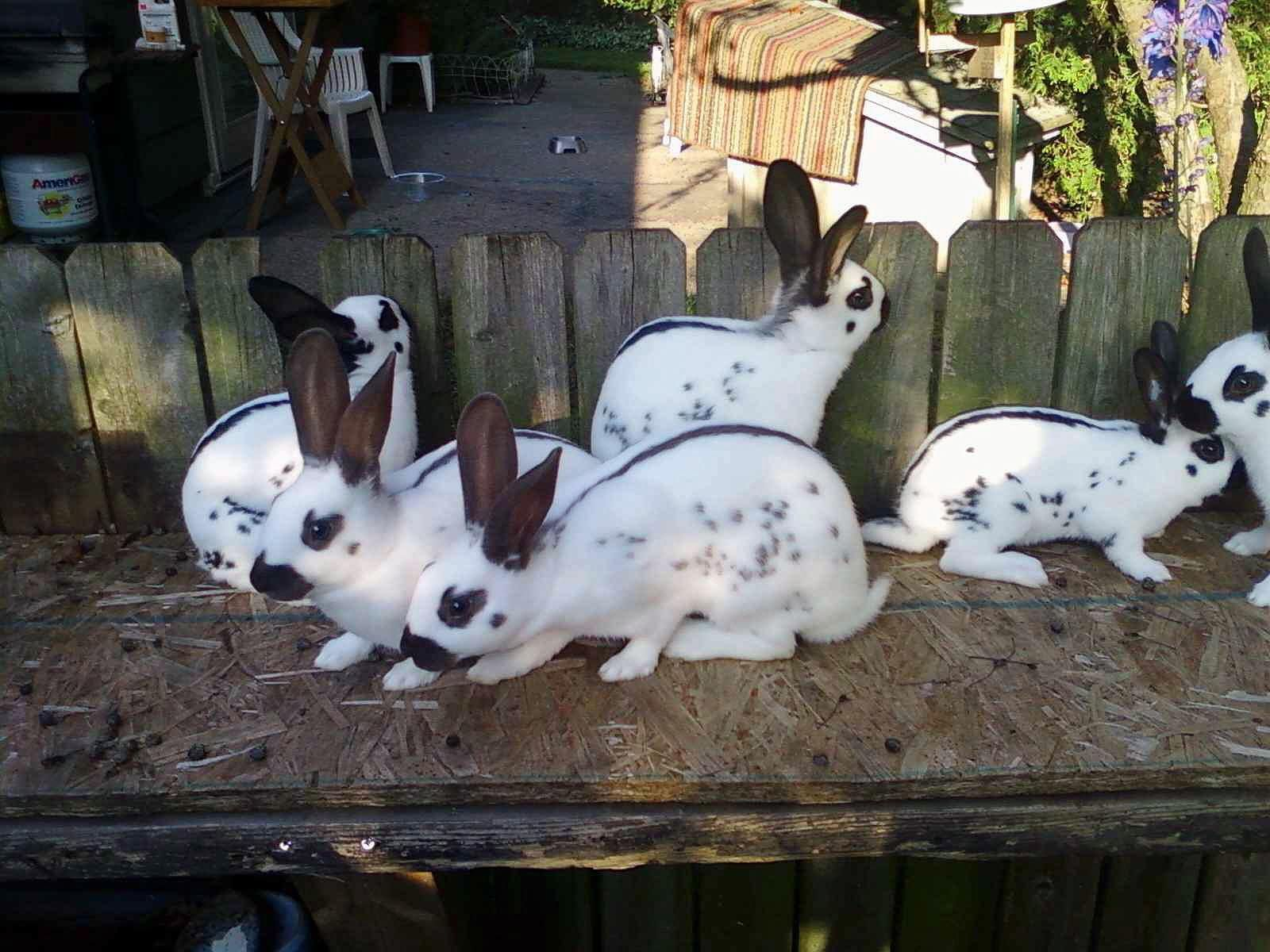 english spot rabbit Google Search Rabbitry Pinterest