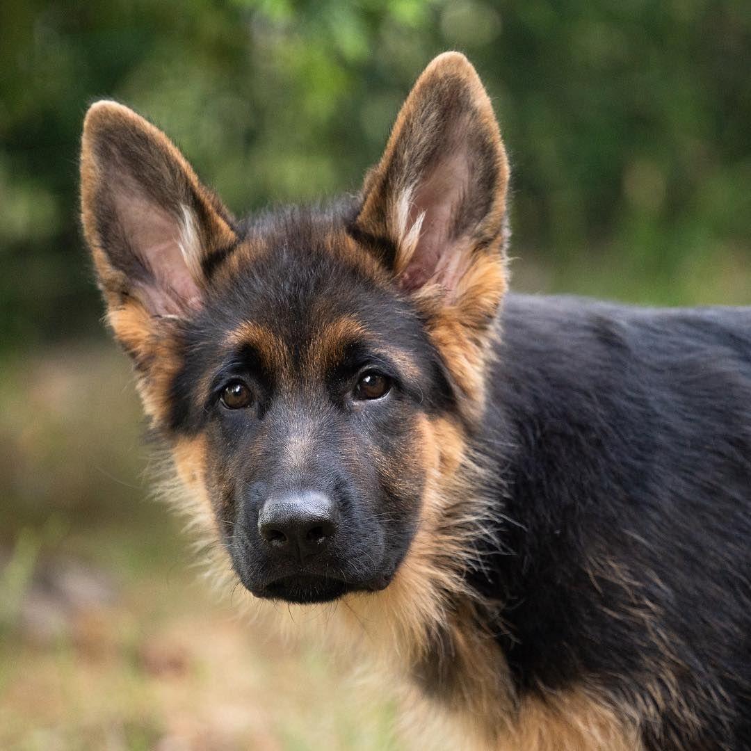 Enzo germanshepherd german shepherd pinterest dogs german