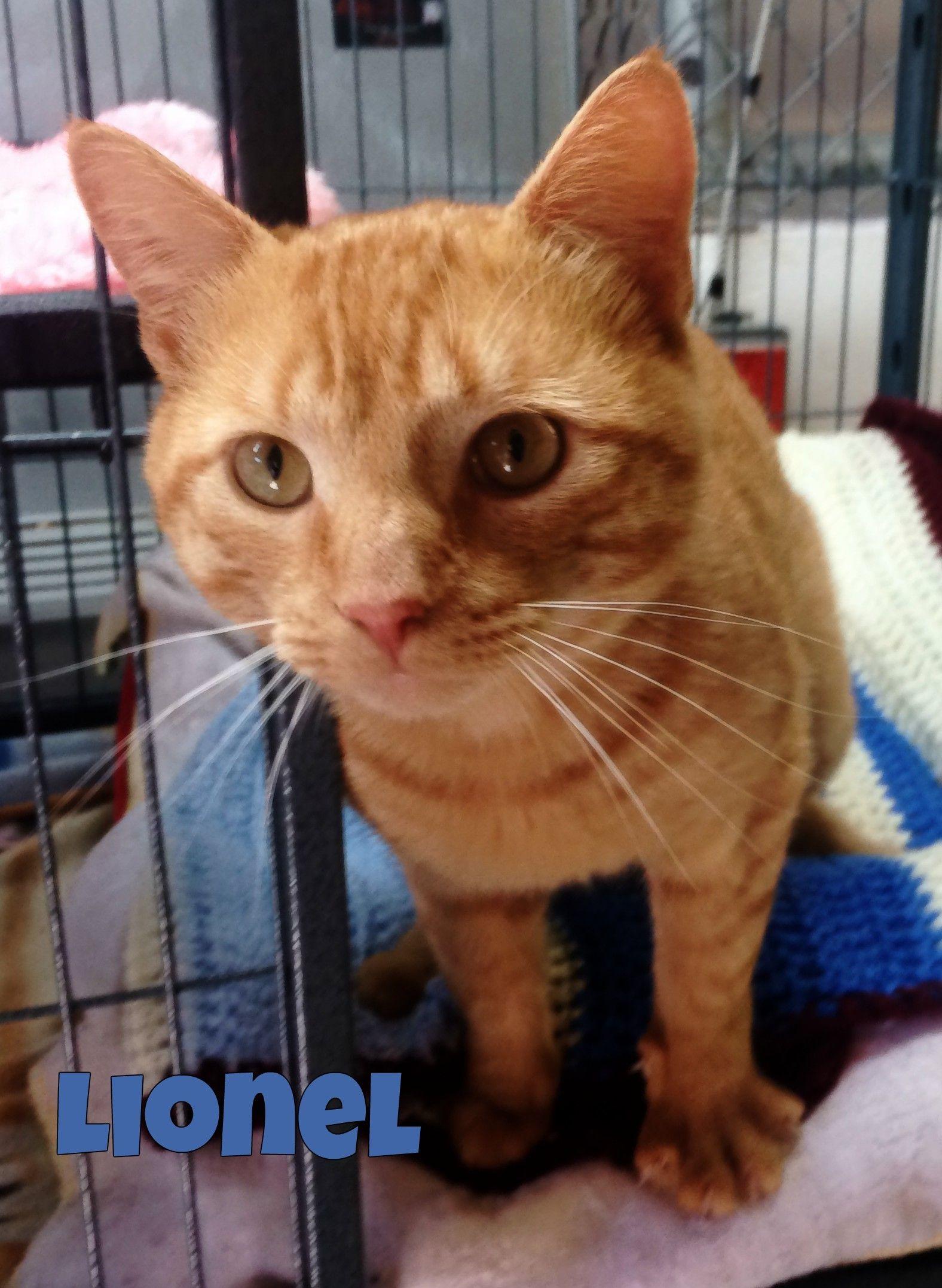 Adopt Lionel On Petfinder In 2020 Cat Adoption Cat Help Cute Animal Photos