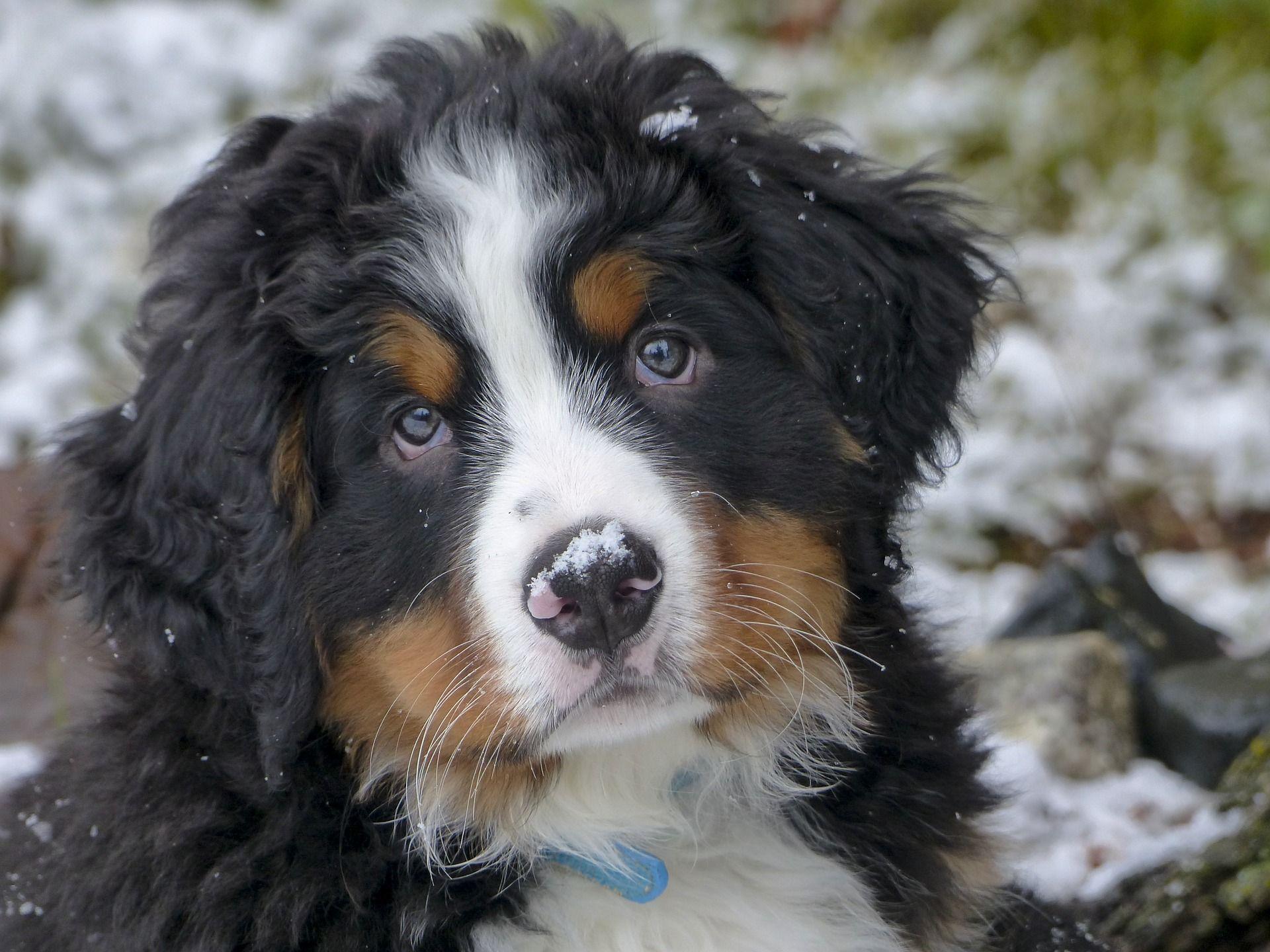 Der Berner Sennenhund ein perfekter Freund für die
