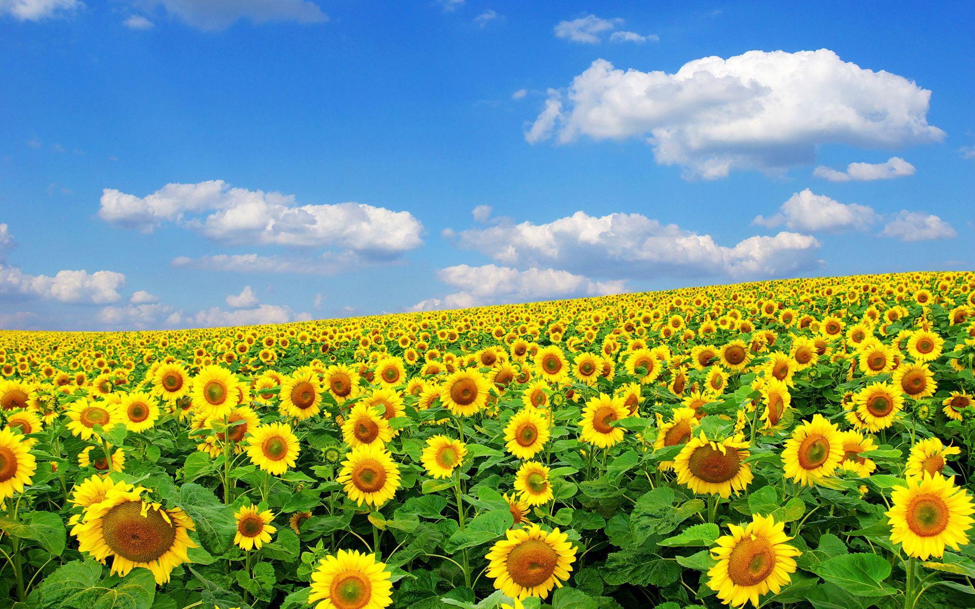 Campo Di Girasoli Flowersflowers Path And Garden Ideas Campi Di