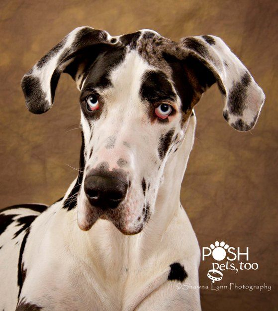 Nick Great Dane Behavior Hold Pending Adoption Big Dogs
