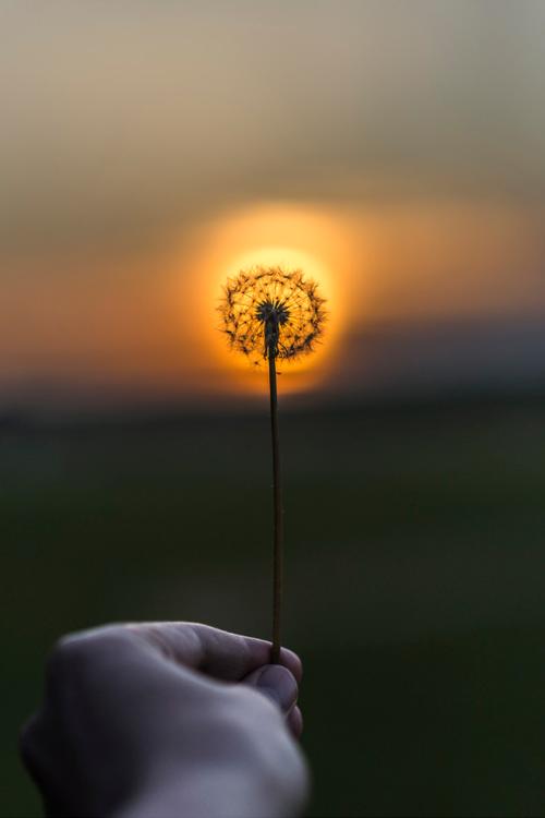 Dente-de-leão solar ✮ Solar dandelion
