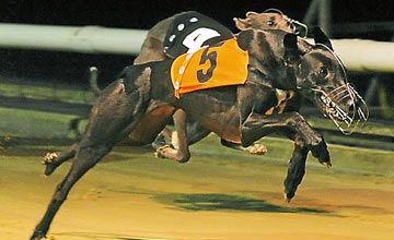 Musical Gaga Greyhound Racing Round Up