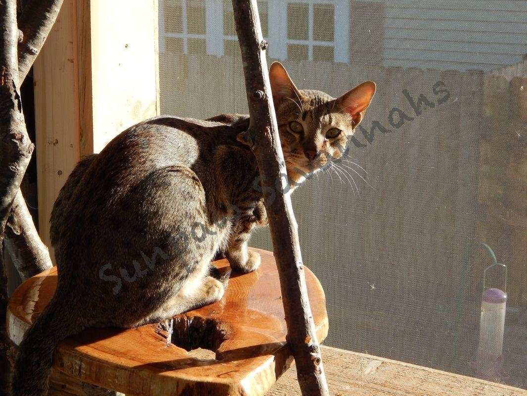 Kings Queens Sunpaw Savannahs Cats King Queen Squeaker