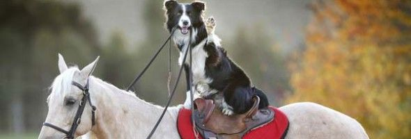 Border Collie On Horse Horses Lazy Animals Horses And Dogs