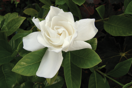 Flower Meanings Gardenia Gardenia Plant Fragrant Flowers Gardenia