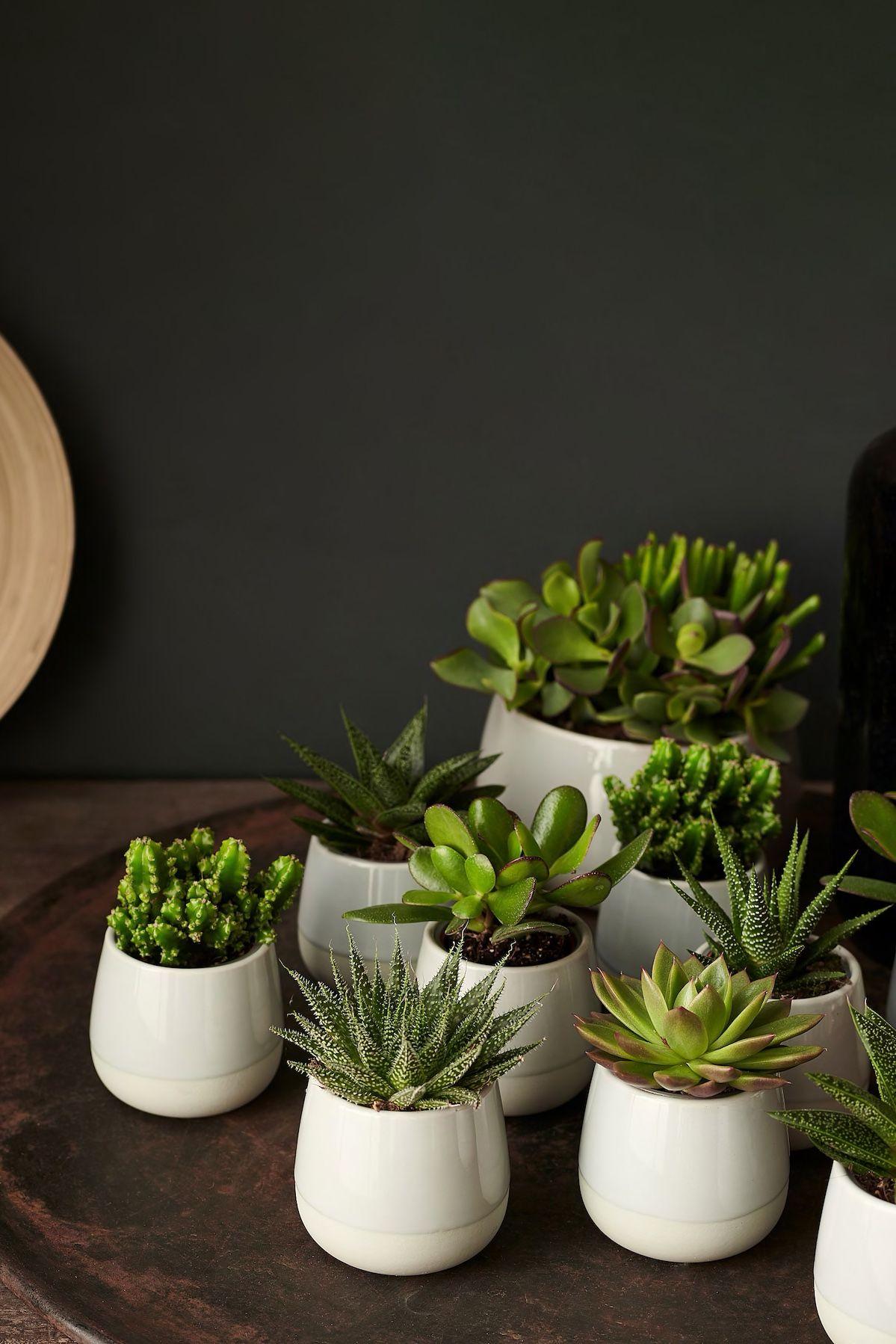 Perfekt für alle, die nicht unbedingt einen grünen Daumen haben, SUCCULENT Pflanze mit Übertopf