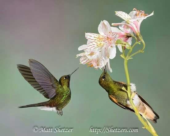 Hummingbirds of Equador
