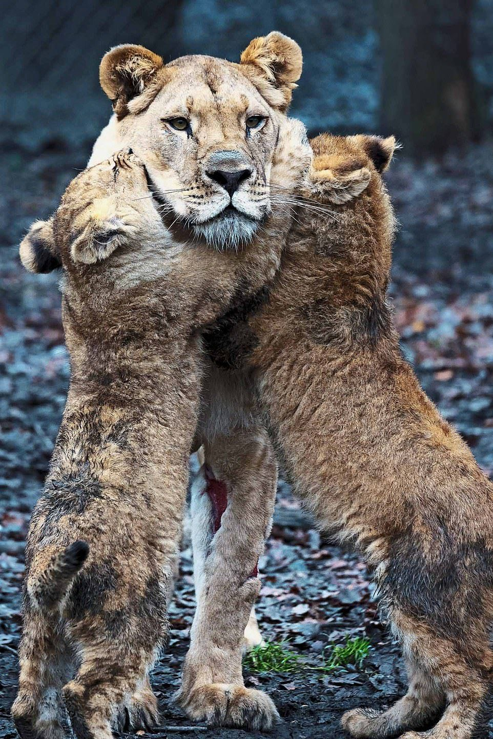 Male lion struggles to look after his cubs while mum is