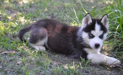 Perfect Siberian Husky Puppy Husky Husky Puppy Siberian