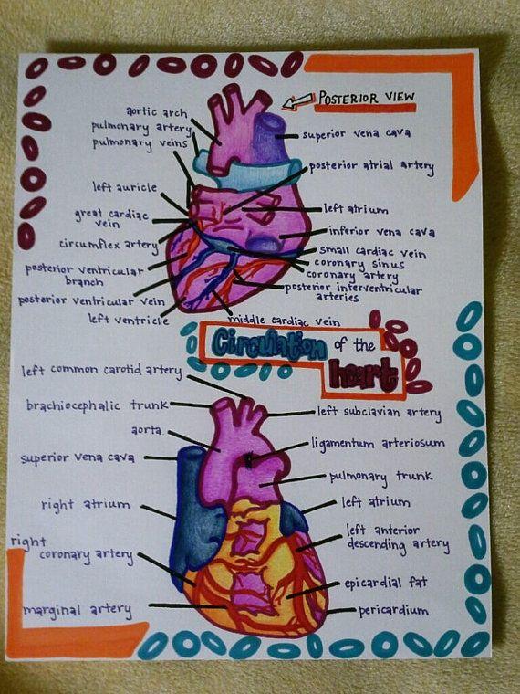 Laminated Hand Drawn Human Anatomy Study By Medicalmasterpiece
