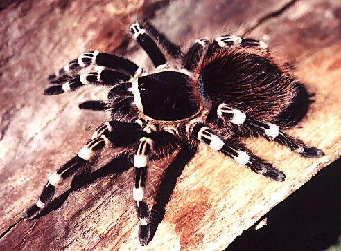 Brazilian giant white-knee,,,,GOT ONE   Tarantula, Arachnids, Insect photos