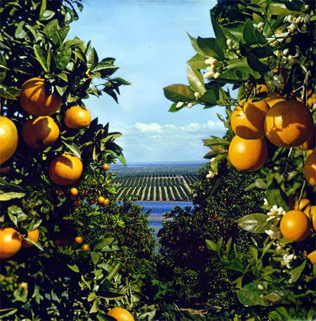 15++ Where are the orange groves in florida info