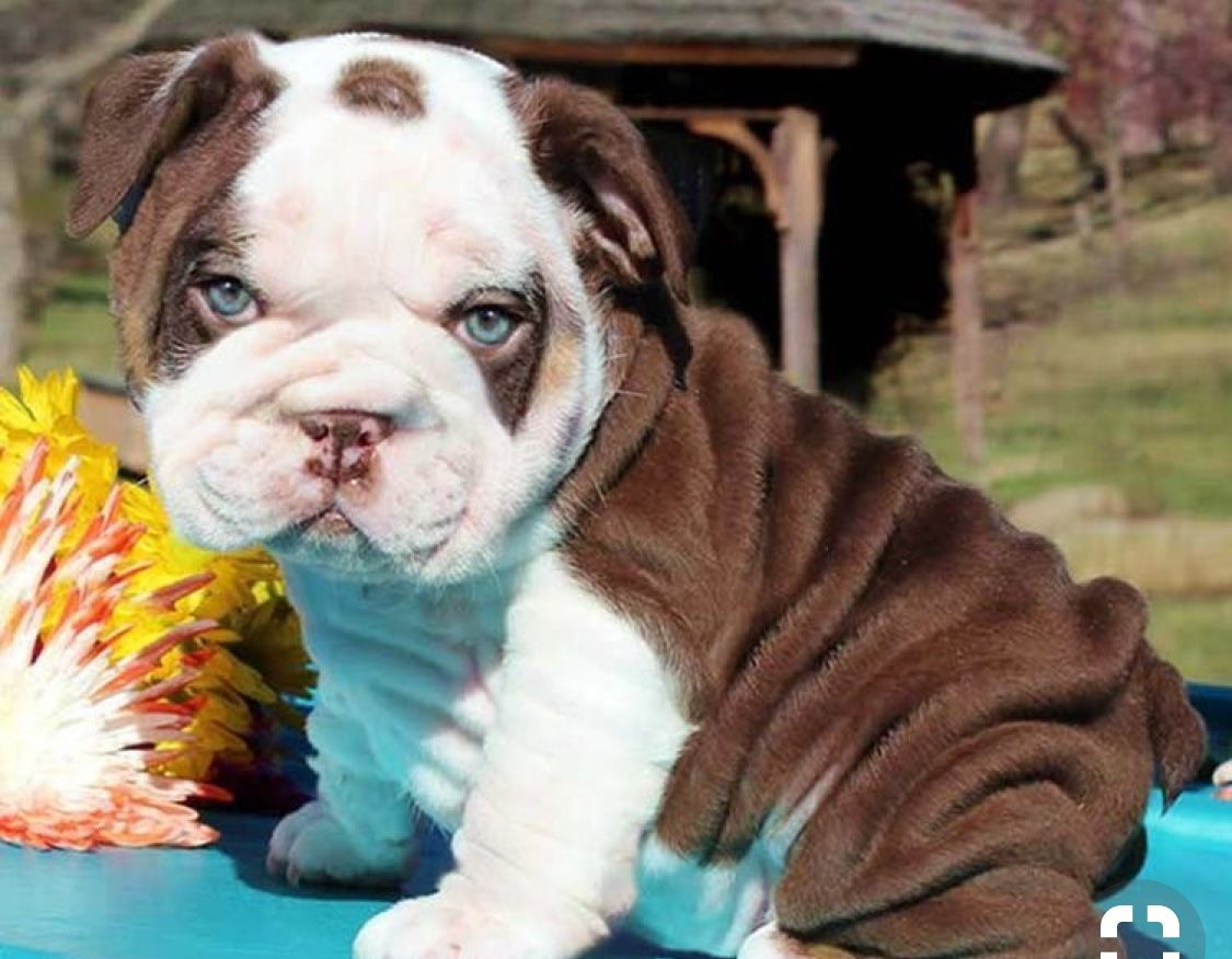 Pin By Ivethe Z On French Bulldog Puppies Cute Bulldog Puppies Cute Baby Animals Puppies