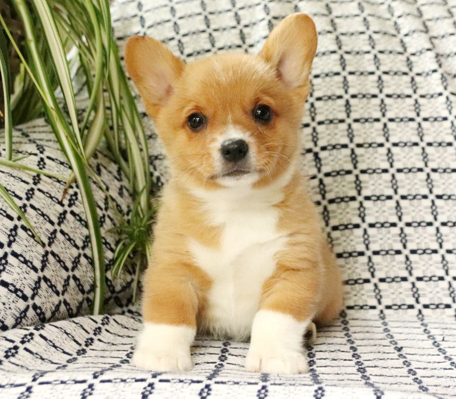 Puppies For Sale Welsh Corgi Puppies Cute Animals Cute Dogs