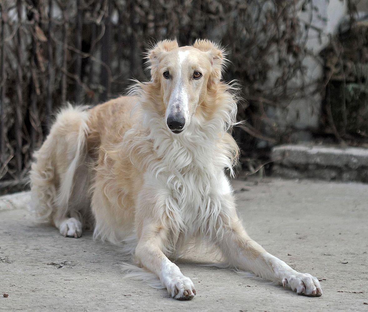 ***, misc., русская борзая, собака