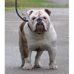 Castlewood Bulldogs English Bulldog Breeders Bulldog English