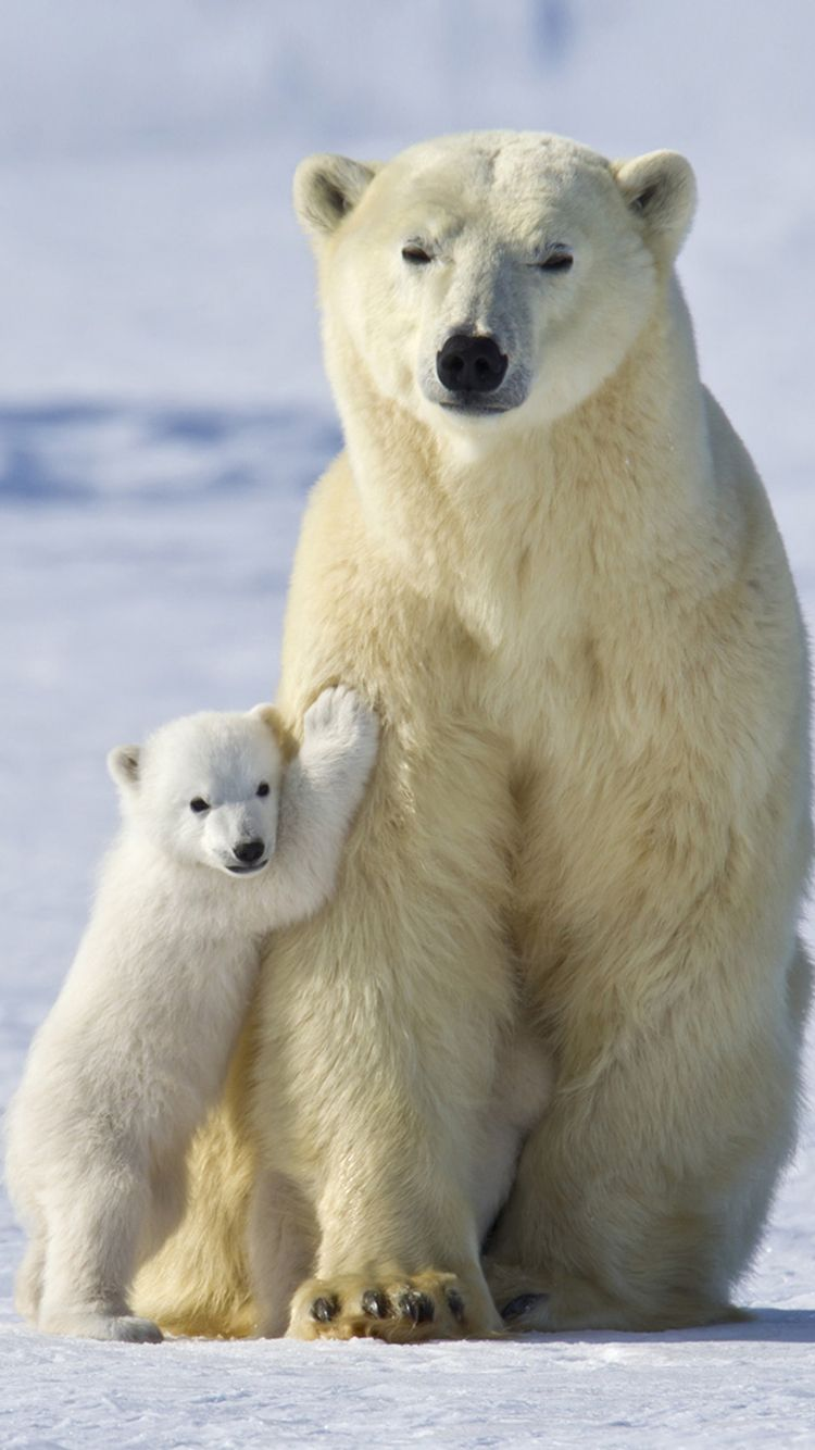 baby polar bear wallpapers wallpaper 1134×768 polar bear pictures