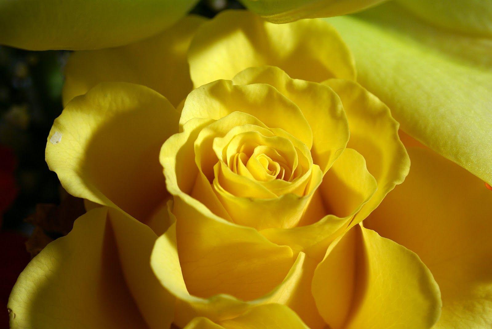 Moons Flower Yellow Flower Wallpaper Yellow Roses Rose