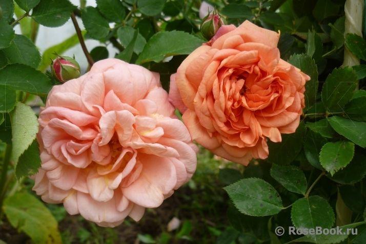 Роза дезире энциклопедия роз