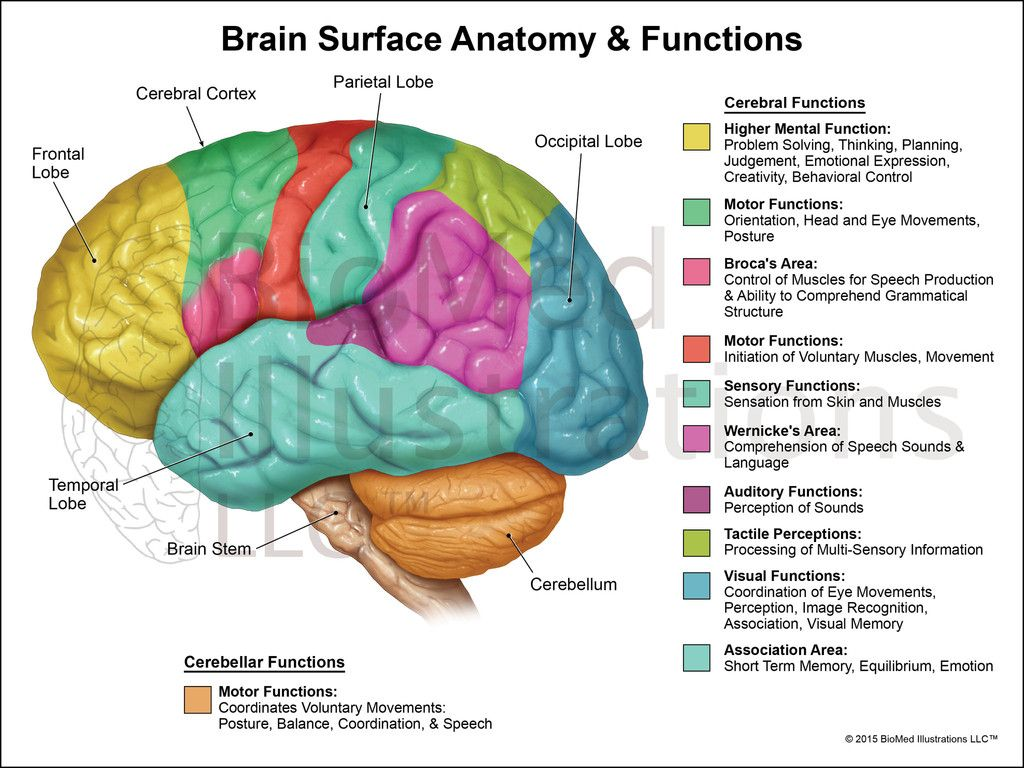 hight resolution of surface anatomy of brain