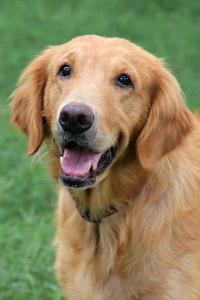 Adopt Daisy Placed On Best Dogs For Families Dogs Golden