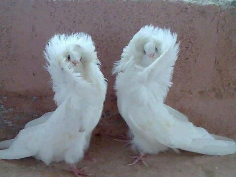 Wow...they look like they are wrapped in a fur coat. Jacobin pigeons
