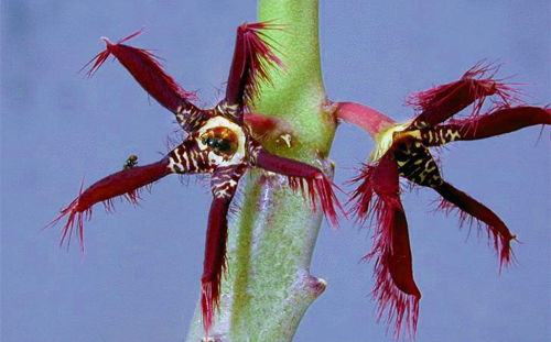 Caralluma fimbriata herbal health supplement