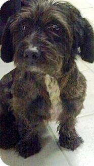 Shih Tzuscottie Scottish Terrier Mix Mischlinge Shih Tzu