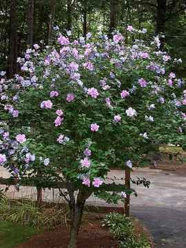 Our Rose of Sharon bush in our front yard, which was planted almost 40 years ago by my husband's maternal great-grandfather.  It's still thriving.