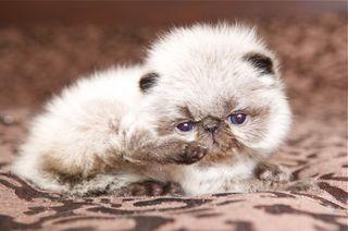 Windysweptt Cattery Himalayan Cat Kitten