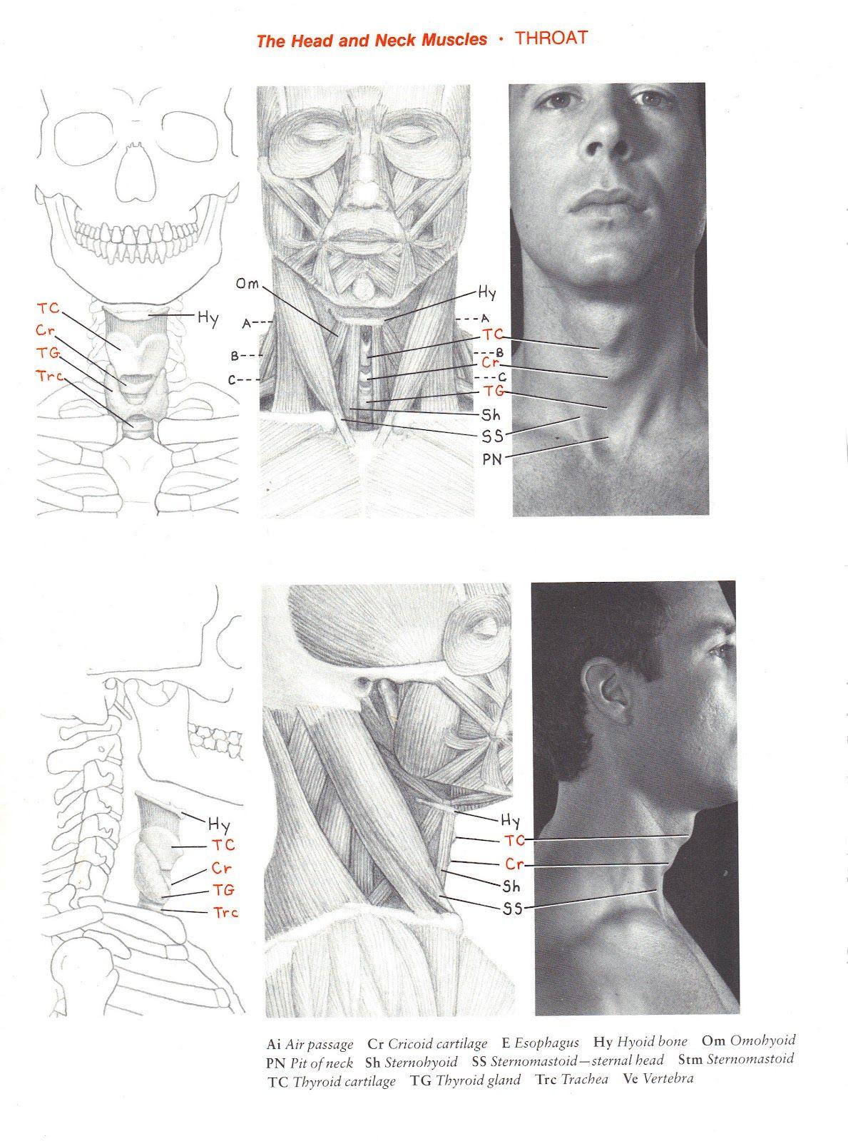 adams+apple.jpg 1.189×1.600 píxeles | Anatomia y musculación | Pinterest