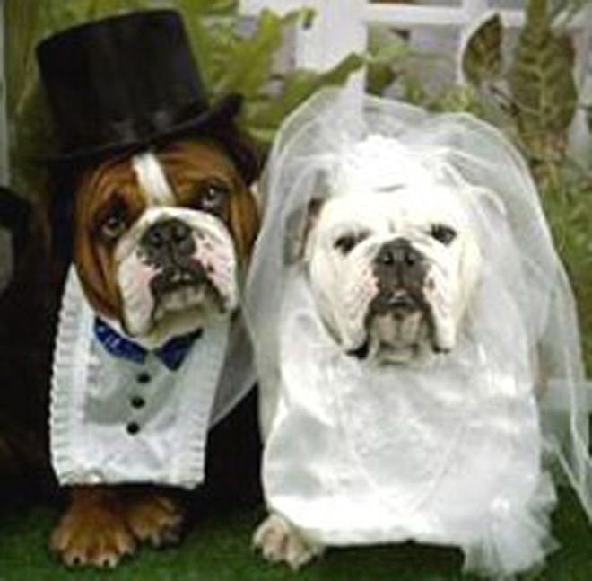 Pictures Of Bulldogs In Wedding Outfits Dogs Getting Married